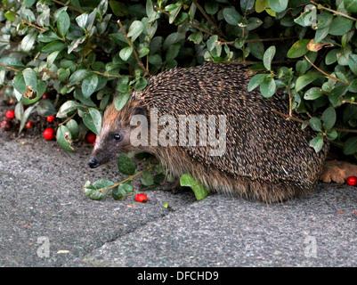 Close-up of a western Hedgehog (Erinaceus europaeus) - Stock Photo