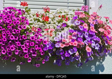Close up of colorful petunia flowers at a house front in Austria, Europe - Stock Photo