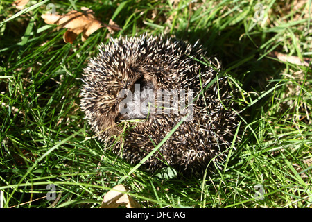 Close-up of a western Hedgehog (Erinaceus europaeus) all rolled up in a ball - Stock Photo