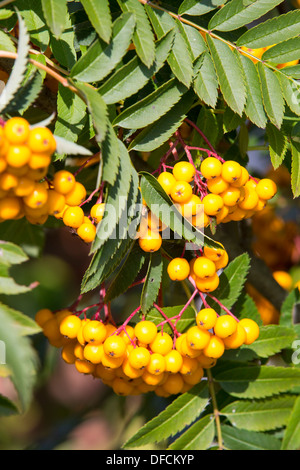 Orange berries on a Rowan tree. - Stock Photo