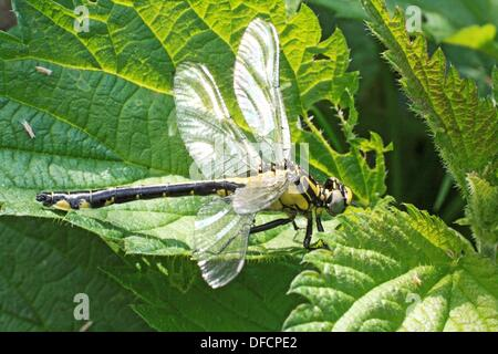 Emerging Common Clubtail, Gomphus vulgatissimus on nettle  From above side  The damaged upper right wing does nt - Stock Photo