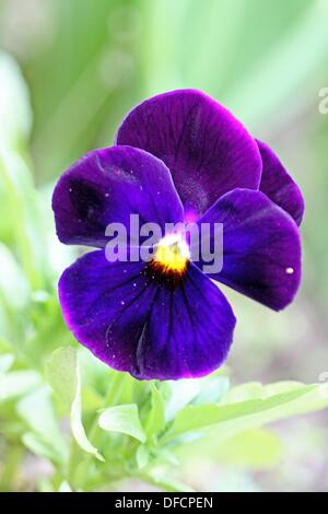 Purple pansy with dark purple center on green background - Stock Photo
