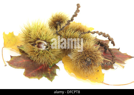 sweet Chestnuts with autumn leaves on a bright background - Stock Photo