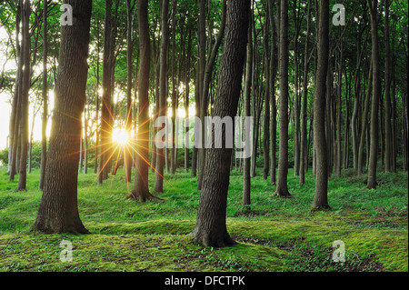Germany, Mecklenburg Western Pomerania, Beech trees in forest - Stock Photo