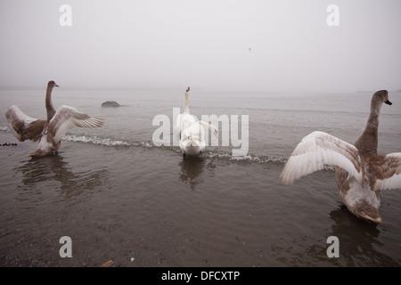 Mute Swans in misty coastal landscape at the island Jeløy, Moss kommune, Østfold, Norway. - Stock Photo