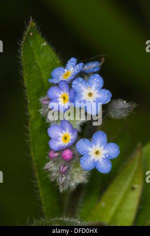 Field Forget-me-not (Myosotis arvensis) flowers - Stock Photo