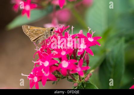 A tiny skipper butterfly, Hesperiidae, nectars on a red Pentas lanceolata. Oklahoma, USA. - Stock Photo