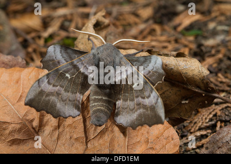 Poplar Hawkmoth (Laothoe populi) resting on dead leaves - Stock Photo