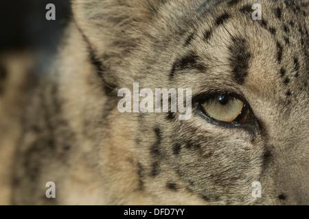 Snow leopard - Stock Photo