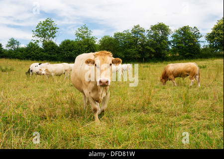 The French Charolais cows in green fields - Stock Photo