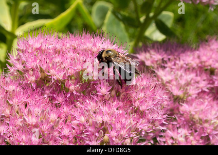 Bumble bee on Kalanchoe flower. - Stock Photo