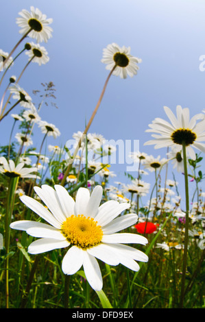 A wildflower meadow dominated by oxeye daisies (Leucanthemum vulgare) growing on an embankment at the side of a - Stock Photo