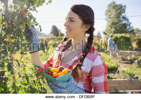 Woman picking cherry tomatoes in community garden - Stock Photo