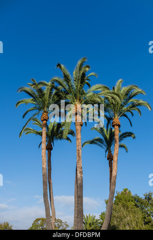 A grouping of newly trimmed tall palm trees against a deep blue sky in Santa Barbara, California. - Stock Photo