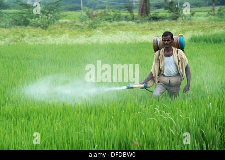 Indian man spraying a rice crop with pesticide. Andhra Pradesh, India - Stock Photo