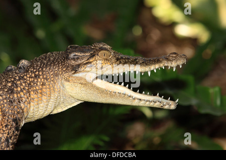 A young saltwater crocodile, mouth open and showing the teeth. Crocodylus porosus, Australia - Stock Photo