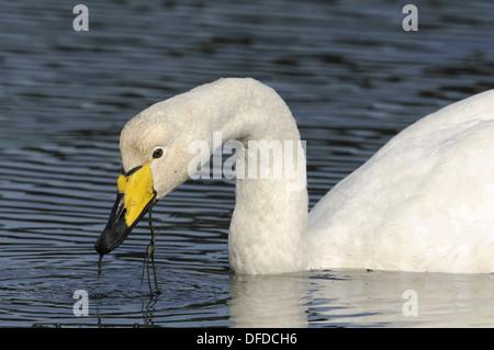 Whooper Swan Cygnus cygnus - Stock Photo