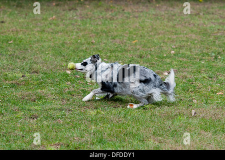 border collie catching tennis ball, border collie bumping tennis ball, border collie kissing tennis ball, - Stock Photo