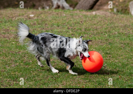 Border collie playing with large ball - Stock Photo