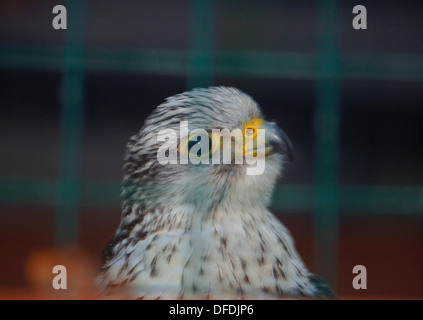 Captive White Gyr Saker Hybrid Falcon. - Stock Photo