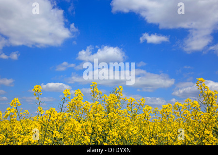 Yellow rapeseed flowers against a bright blue sky with white clouds on a sunny day as spring turns into summer. - Stock Photo