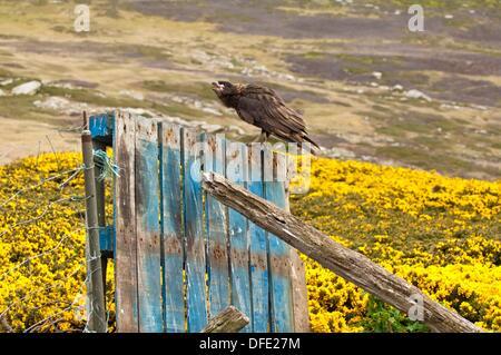 Striated Caracara Phalcoboenus australis on a fence, West Point, Falkland Island - Stock Photo