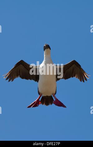 Imperial Shag, formerly Blue-eyed or King Cormorant, Phalacrocorax atriceps in flight, Saunders Island, Falkland - Stock Photo