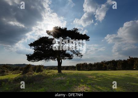 Lone Pine Tree on Bratley Plain. New Forest National Park, Hampshire, UK. - Stock Photo