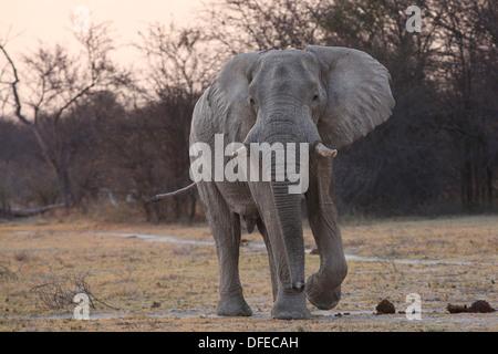 African Elephant (Loxodonta africana) after sunset - Nxai Pan, Botswana. - Stock Photo