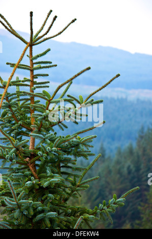 Norway spruce Picea abies growing in Galloway Forest Scotland - Stock Photo