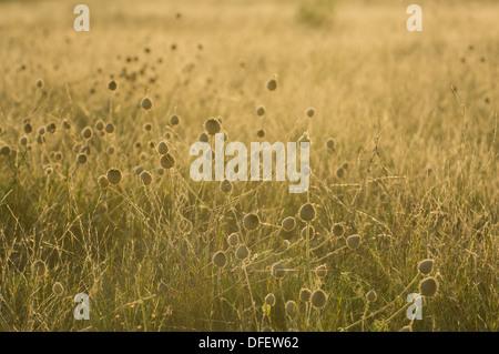 Backlit thistles in grassland near Jack's Camp at sunset, Makgadikgadi Pan, Botswana - Stock Photo