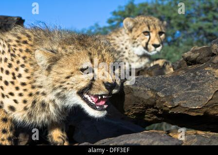 Two young cheetahs Acinonyx jubatus on granite rocks  Private game farm near Windhoek, Namibia - Stock Photo
