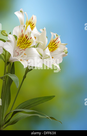 Floral pattern of white lilies on a blue background - Stock Photo