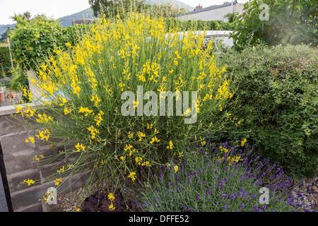 Common broom shrub Cytisus scoparius, syn. Sarothamnus scoparius growing in UK garden, Abergavenny - Stock Photo