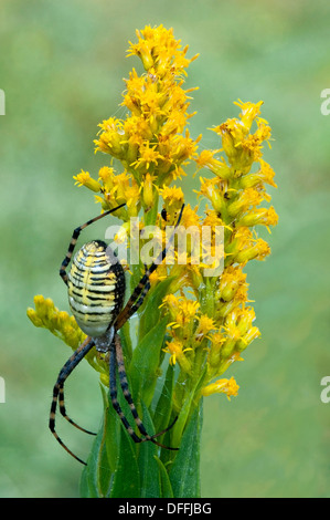 Black and Yellow Argiope spider Argiope aurantia on Goldenrod Eastern USA - Stock Photo
