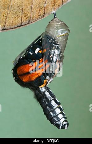 Monarch Butterfly Danaus plexippus adult emerging from chryalis, E North America - Stock Photo