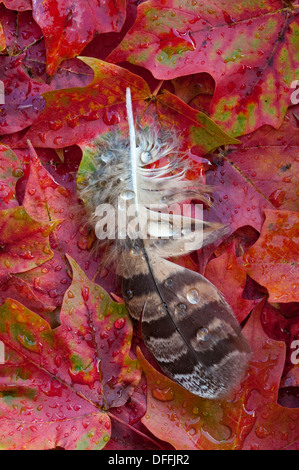 Rain drops on Great Horned Owl feather resting on autumn Red Maple leaves Acer rubrum Eastern USA - Stock Photo