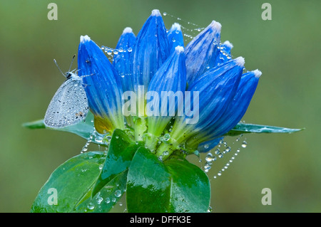 Eastern Tailed-Blue Butterfly Cupido comyntas on dewy spider web covered Bottle Gentians Gentiana andrewsii Eastern - Stock Photo