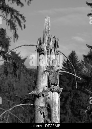 Old broken spruce tree in the forest black and white - Stock Photo
