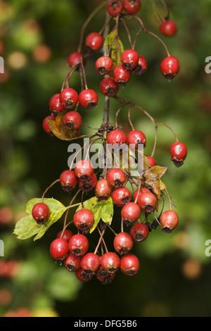 common hawthorn, crataegus monogyna - Stock Photo