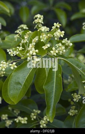 spindle tree, euonymus carnosus - Stock Photo