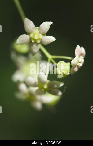 broad-leaved spindle tree, euonymus latifolia - Stock Photo