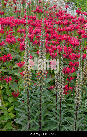 Monarda 'Gardenview Scarlet' and Digitalis Ferruginea - Stock Photo