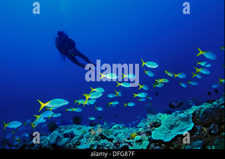 Yellow and Blueback Fusiliers (Caesio teres) with a scuba diver, Raja Ampat, West Papua, Indonesia - Stock Photo