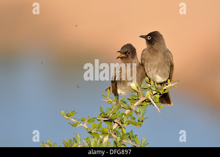 Two Cape Bulbuls (Pycnonotus capensis), perched on a twig, juvenile on the left, Addo National Park, Eastern Cape, - Stock Photo