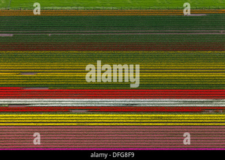 Tulip fields, aerial view, Ursem, province of North Holland, The Netherlands - Stock Photo