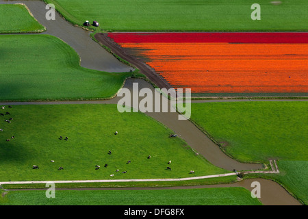 Tulip fields, aerial view, Berkhout, province of North Holland, The Netherlands - Stock Photo