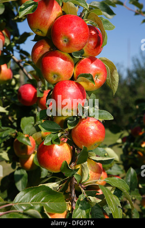 Apples on an apple tree, 'Gerlinde' (Malus domestica 'Gerlinde') apple variety, Germany - Stock Photo