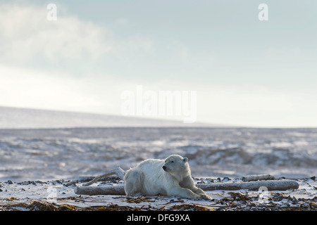 Polar Bear (Ursus maritimus), male lying on the beach, Kvitøya, Svalbard Archipelago, Svalbard and Jan Mayen, Norway - Stock Photo