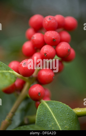common holly, ilex aquifolium - Stock Photo